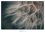 dandelion-detail