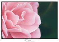 pink-rose-detail